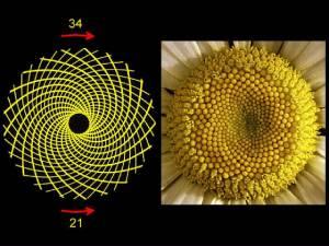 spiralsFibonacci2.jpg.w560h420